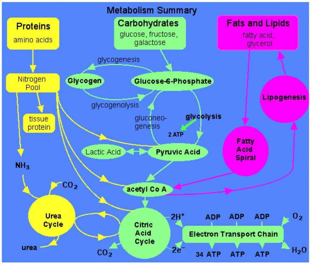 MetabolismSchematic